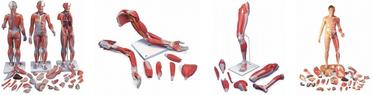 Muskelfiguren