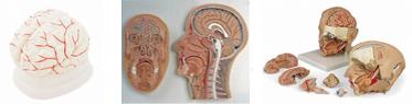 Kopf & Gehirn