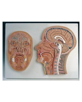 Median- und Frontalschnitt des Kopfes
