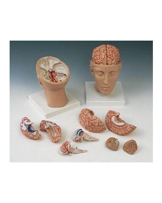 Gehirn mit Arterien auf Kopfbasis 10-teilig