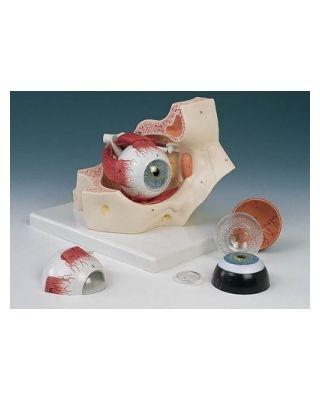 Auge mit Augenhöle 7-teilig
